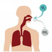 Breathing through the nose and exhaling through the mouth Respiratory system