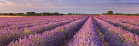 Sunrise over blooming fields of lavender in the Provence, France