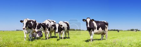 Cows in a fresh grassy field on a clear day