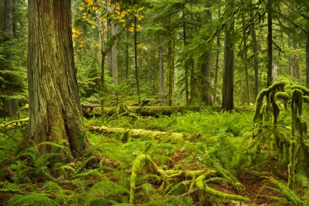 Lush rainforest in Cathedral Grove, Vancouver Island, Canada