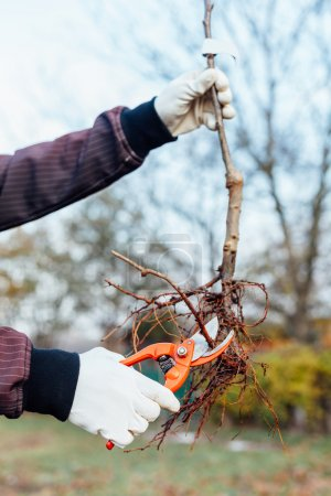 Agronomist pruning shears reduces root seedlings