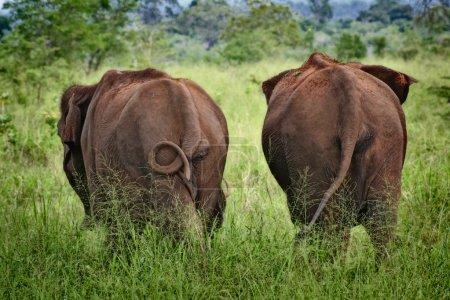 Photo pour Deux éléphants d'Asie se promènent dans les prairies du parc naturel d'Udawalewa au Sri Lanka - image libre de droit