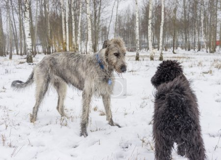 Irish Wolfhound plays with poodle in winter