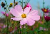 Cosmos flowers in sunset.