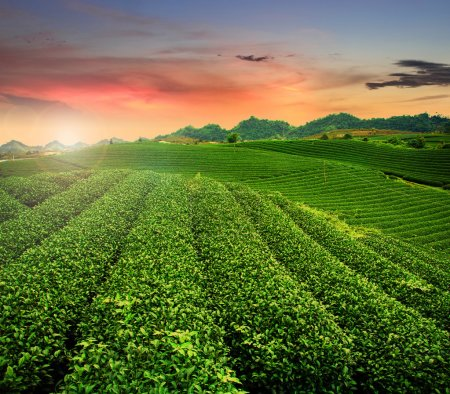 Tea plantation Mocchau highlands in Vietnam....