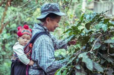 Farmer harvesting coffee grains on coffee plantation