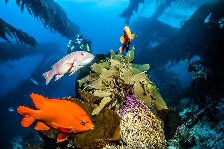 Photo pour Photo montrant le paysage sous-marin de l'île Catalina - image libre de droit