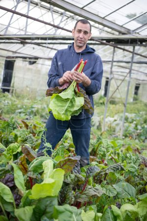 Man Holding Bunch of Brightly Coloured Chard Leaves