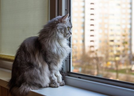 Beautiful grey cat sitting on windowsill and looking out of a window