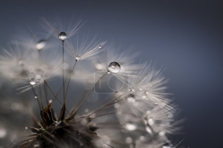 Photo for Soft dandelion with drop - Royalty Free Image