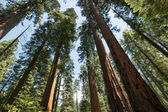 Huge Redwood trees at the Calaveras National State Park, California, United States