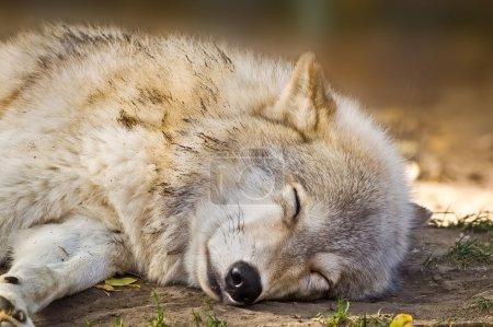 Photo pour Loup gris dormant à l'ombre pour échapper au soleil d'automne . - image libre de droit