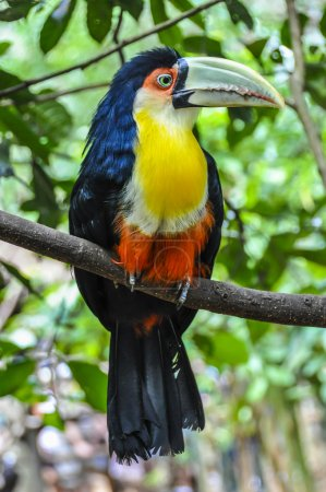 Colorful toucan at Iguazu Falls,  Brazil