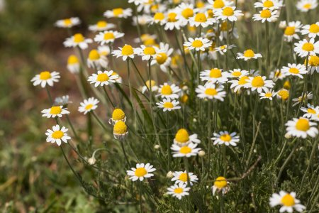 white daisies. a bush of white daisies in a solar field.