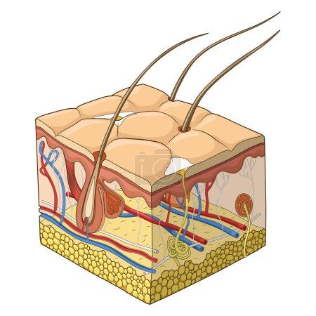 Illustration for Slice of skin structure medical science educational vector illustration - Royalty Free Image