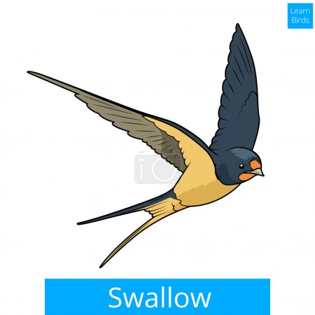 Swallow learn birds educational game