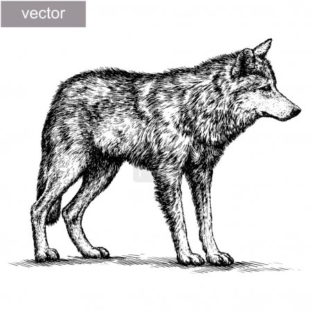 Illustration for Engrave isolated vector wolf illustration sketch. linear art - Royalty Free Image