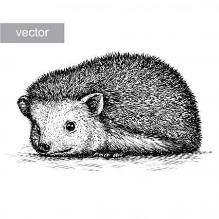Illustration for Engrave isolated hedgehog illustration sketch. linear art - Royalty Free Image