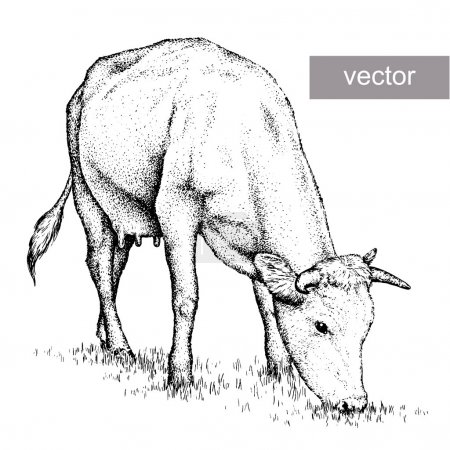 Illustration for Engrave isolated cow vector illustration sketch. linear art - Royalty Free Image