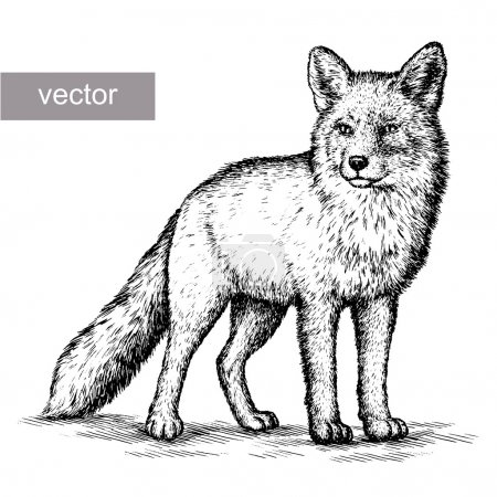 Illustration for Engrave isolated fox vector illustration sketch. linear art - Royalty Free Image