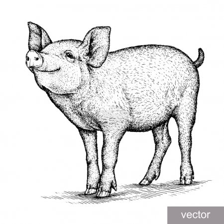 Illustration for Engrave isolated pig vector illustration sketch. linear art - Royalty Free Image