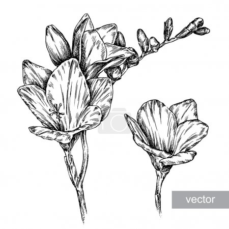 Illustration for Engrave isolated flower vector illustration sketch. linear art - Royalty Free Image