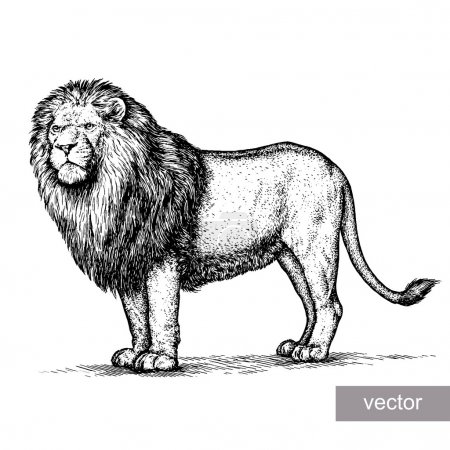 Illustration for Engrave isolated lion vector illustration sketch. linear art - Royalty Free Image