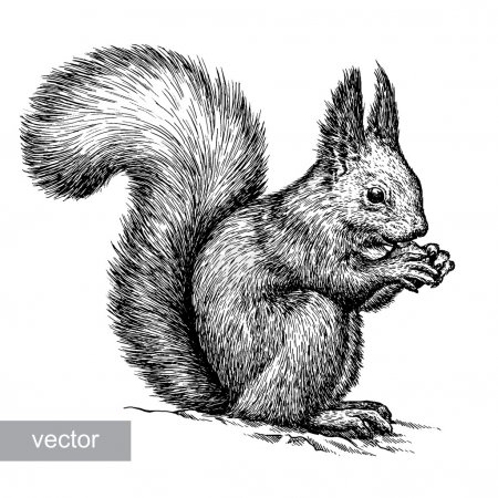 Illustration for Engrave isolated vector squirrel illustration sketch. linear art - Royalty Free Image