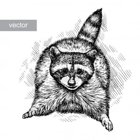Illustration for Engrave isolated vector raccoon illustration sketch. linear art - Royalty Free Image