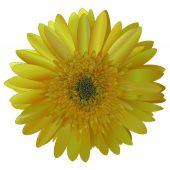 vector image sunny bright yellow Barberton daisy (Gerbera jamesonii)