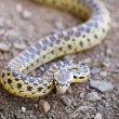 Постер, плакат: Pacific Gopher Snake Pituophis catenifer catenifer adult in defensive posture Santa Cruz Mountains California