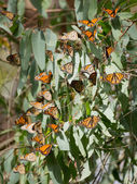 Monarch Butterflies (Danaus plexippus)