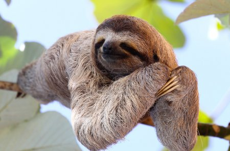Photo for Baby sloth poses for the camera on the tree - Royalty Free Image