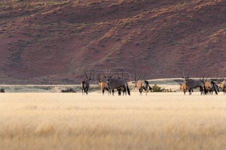 Herd of Gemsbok in Sossusvlei