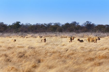 Pride of lions in the savannah, in Namibia