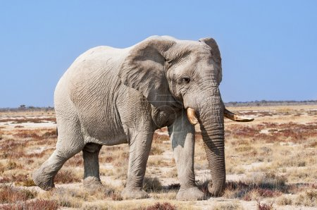 Bull Elephant in the Etosha National Park in Namibia, Africa