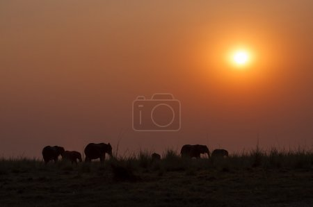 Silhouette of a herd of elephants at sunset in the Chobe National Park in Botswana