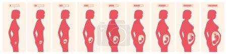 Illustration pour La croissance d'un fœtus humain en semaines et mois en format vectoriel - image libre de droit