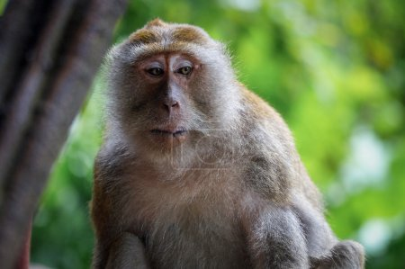 Photo pour Un vieux singe en Thaïlande regardant ailleurs - image libre de droit