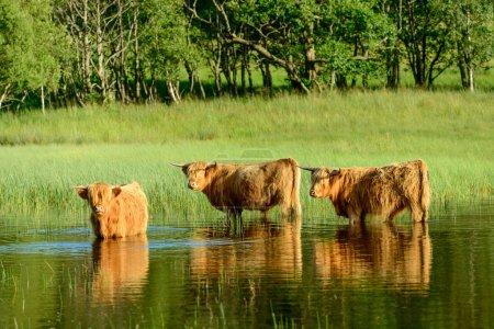 Highland calves in Loch Lomond
