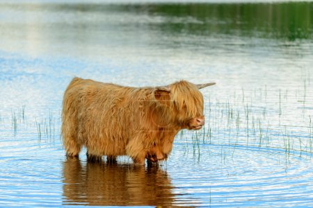 Highland Cow in lake