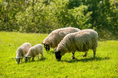Two ewes and lambs grazing
