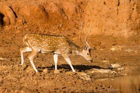 Chital or cheetal deer