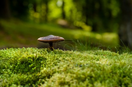 Photo for An unidentified wild fungus growing out of green moss in a woodland - Royalty Free Image