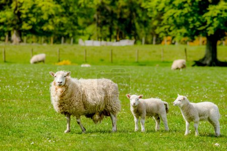 Scottish Sheep with lambs