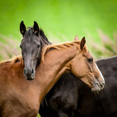 Two horses embracing