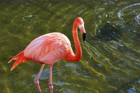 Flamingo is taking a bath