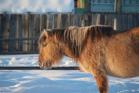 Yakut horse in winter