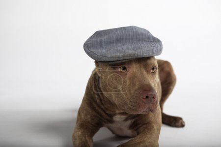 Pitbull dog with hat