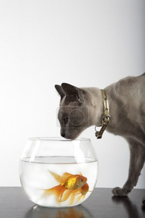 Siamese Cat and golden fish